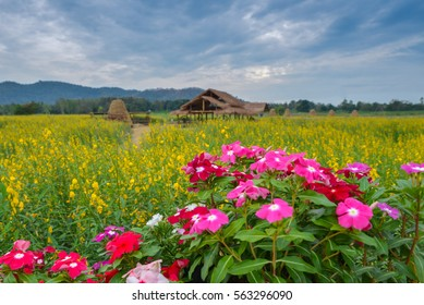 soft  blurred focus the hut Thai stay in crotalaria flowers farm with mountain in evening at Thailand and dianthus flower of front ground.