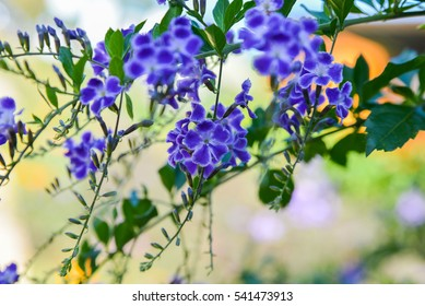 Soft and blurred focus Pigeon berry flower purple is a small bunch of shrub and green leaves/other name Sky flower; Golden dew drop,Duranta,Duranta repens L.; Duranta erecta