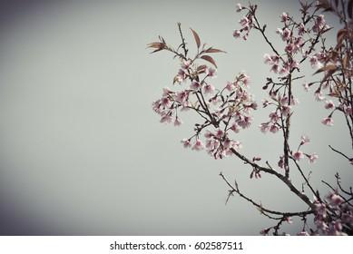 soft and blurred sakura flower(cherry blossum)on the blue sky was background/vintage photo
