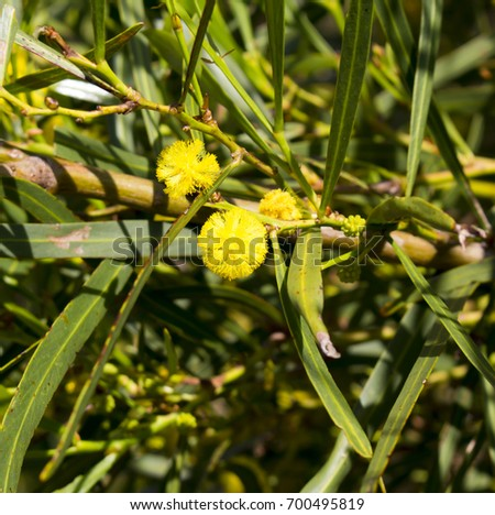 Soft Bright Yellow Fragrant Fluffy Balls Stock Photo Edit Now