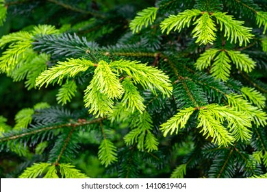 Soft close-up of beautiful bright young needles on dark green branches of coniferous tree fir Abies nordmanniana, Caucasian Fir or Christmas tree in natural day light. Nature concept for design