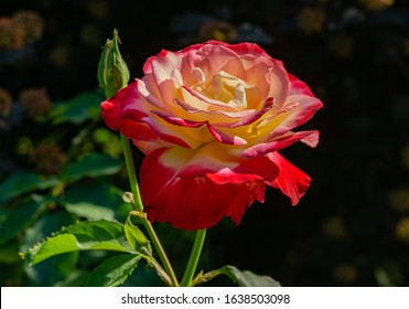 Soft close-up of beautiful rose Double Delight. Luxurious purple rose with yellow heart against the background blurred emerald greenery. There is a place for text.