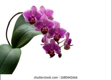Soft-Nahaufnahme Fokus der schönen Ast von gestreiften violetten Mini-Orchideen Sogo Vivien. Phalaenopsis, Moth Orchid mit grünem Blatt einzeln auf weißem Hintergrund. Naturkonzept für Design. Ort für Text