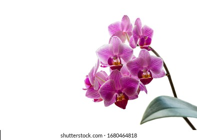 Soft close-up focus of beautiful branch of striped purple mini orchids Sogo Vivien. Phalaenopsis, Moth Orchid with green leaf isolated on white background. Nature concept for design. Place for text
