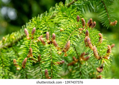 Soft close-up of male young pine cones on branches of Picea omorika on green background. Sunny day in spring garden. Nature concept for design