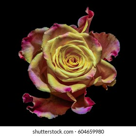 Soft colored macro portrait of an isolated single yellow red pink violet orange Rose blossom on black background - pop art colors, surreal, floral fantasy, fantastic realism . love, joy, happy