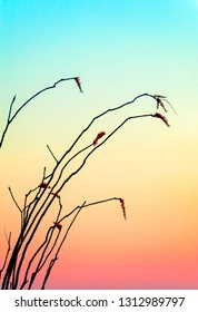 Soft colors of the rising sun provide a silhouetting a Ocotillo plant in the Arizonia desert. A Zen Moment.