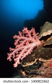 Soft Coral (Dendronephthya) on Reef Wall. Pescador Island, Moalboal, Philippines