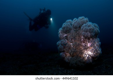 Soft coral in the Lembeh Strait / Indonesia