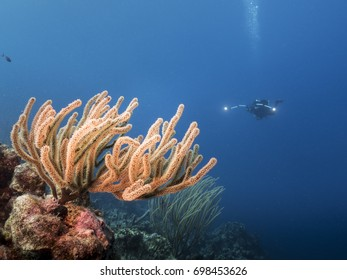 Soft coral at the reef  of Caribbean Sea around Curacao with diver in blue water