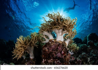 Soft corals grow on the edge of a coral reef drop off in Indonesia. This region is part of the Coral Triangle and has an extraordinary amount of marine biodiversity.