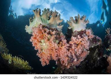 Soft corals grow on a reef in Raja Ampat, Indonesia. This remote, tropical region is home to an extraordinary array of marine biodiversity and is a popular destination for divers and snorkelers.