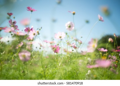 soft Cosmos flower with old lens