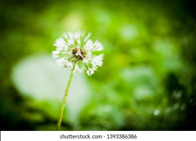Soft dreamy image of dandilion seed head blowball after rain isolated shallow focus with green blurry bokeh background and dark vignette corners copy space