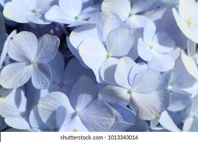 soft ficus purple flower textures background.