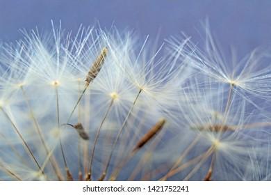 Soft, fluffy dandelion seeds isolated on blue background