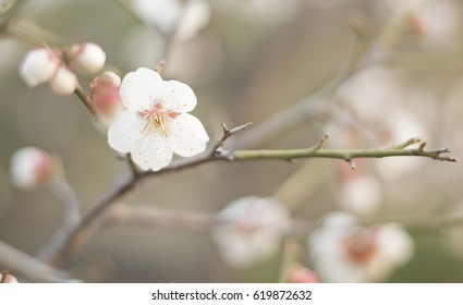 soft focus of apricot flower