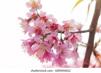 Soft focus, beautiful cherry blossom, Prunus cerasoides in Thailand, bright pink flowers of Sakura on the high mountains of Chiang Mai. Spring background and beautiful natural scenery
