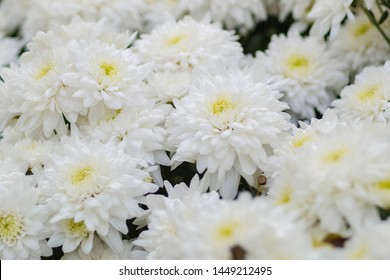 Soft focus Beautiful Chrysanthemums white flower blossom other names includes mums or chrysanths.