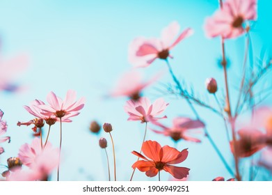 Soft focus beautiful cosmos flowers are blooming in vintage tones with bright sky background.