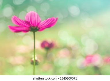 Soft focus Beautiful pink cosmos blossom.