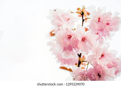Soft focus beautiful pink japanese cherry or Sakura flower cherry blossom in spring season on white background, Soft toned , idea wedding, valentine, concept.