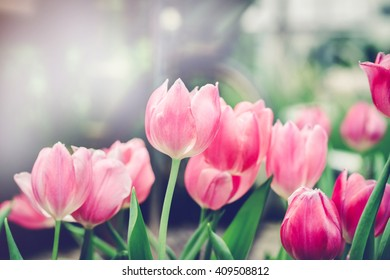 soft focus of beautiful pink tulip in garden on day noon light ,vintage tone.