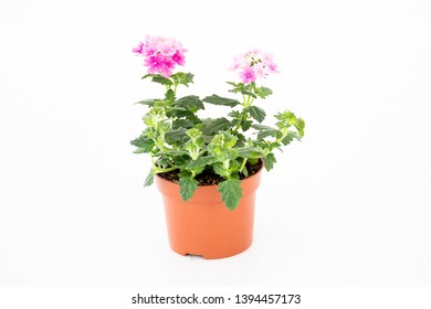 Soft focus beautiful pink and white verbena flowers  blooming in small size with branch and green leave growth in brown plastic pot on white background.  idea gardening pot for summer concept.