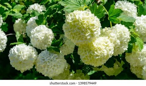 Soft focus of beautiful white balls of blooming Viburnum opulus 'Roseum' on dark green background. White Guelder Rose or Viburnum opulus Sterilis, Snowball Bush, European Snowball is deciduous shrub
