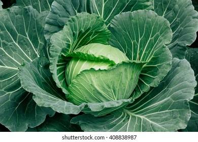 Soft focus of Big cabbage in the garden
