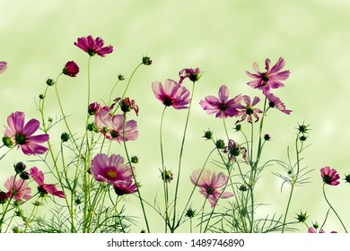 Soft focus blurred cosmos flower for background