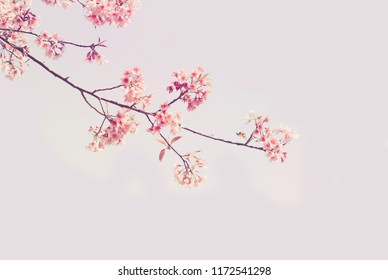фотообои Soft focus Cherry Blossom or Sakura flower on nature background