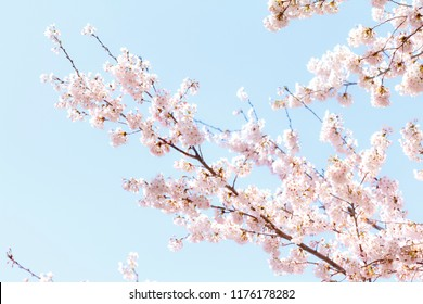 Soft focus Cherry Blossom or Sakura flower on nature background.Sakura is a plant familiar to Japanese culture.