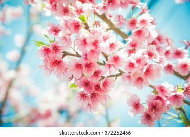 Soft focus Cherry Blossom or Sakura flower on nature background