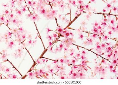 Soft focus Cherry Blossom or Sakura flower on vintage background