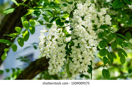 Soft focus of close-up flowering branches with white flowers of Robinia pseudoacacia (Black Locust, False Acacia) in spring. Nature concept for design