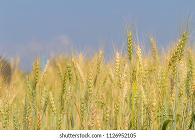 Soft focus and comfort,The background of the beautiful golden barley field is far superior to the agricultural produce of the farmer who has cultivated barley for sale and is a beautiful tourist area.