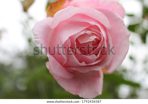 Soft focus delicate pink rose head with blurred background