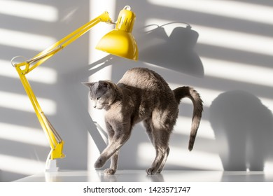 Soft focus fashion portrait of purebreed russian blue cat with funny muzzle posing on table with yellow lamp and sun light with shadows falling through blinds on wall behind. Pussycat in home interior