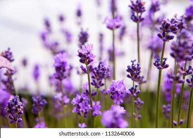 Soft focus flowers. Lavender fields with warm and soft sunlight.