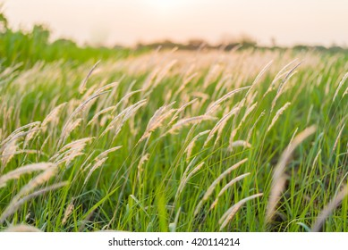 Soft focus grass flower background at sunset