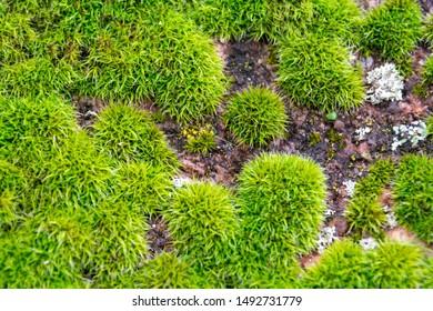 Soft focus. Green moss background. Green moss closeup background