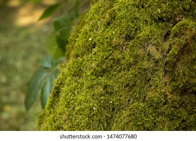 soft focus green moss on tree bark textured background natural surface
