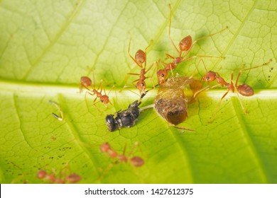 Soft focus a group of Weaver Ant or Green Tree Ants hunting the food, taking a Black Mud Dauber on green leaf to the nest.