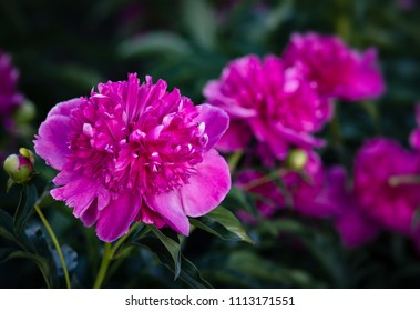 Soft focus image of blooming pink peonies in the garden. Selective focus. Shallow depth of field