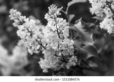 Soft focus image of blossoming branch of a white lilac. Spring blooming lilac tree flowers. Lilac blossom in spring. Black and white image