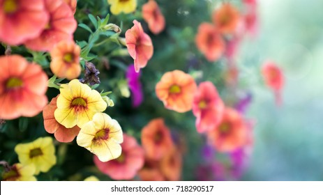 A soft focus image of a hanging flower basket of Calibrachoa, also known as million bells flowers, in full bloom with yellow, orange, and pink blossoms.
