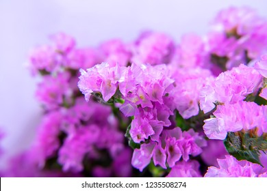 Soft focus image of Marsh Rosemary, Sea Lavender or Statice flower with blur background. (Scientific name - Limonium sinuatum)