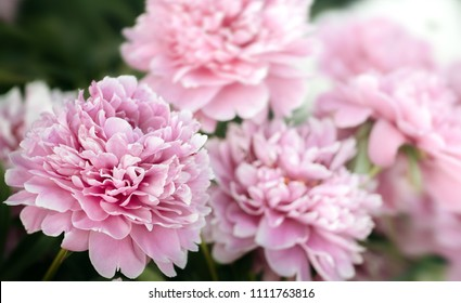 Soft focus image of pink and white peonies in the garden. Blooming pink and white peonies. Selective focus. Shallow depth of field.