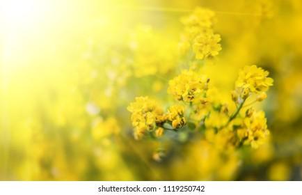 Alyssum images stock photos vectors shutterstock soft focus image of small yellow flowers of aurinia saxatilis in sun light common names mightylinksfo